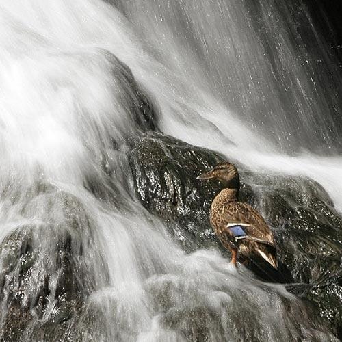 Duck to Water by ejtumman