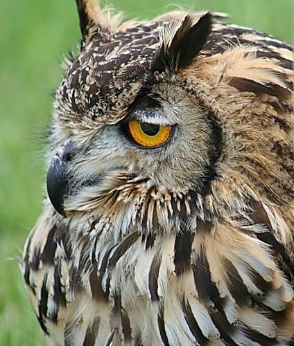 Eagle Owl by silburkp