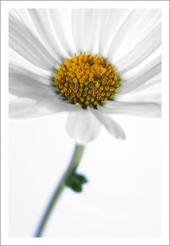 Daisy by obmitty