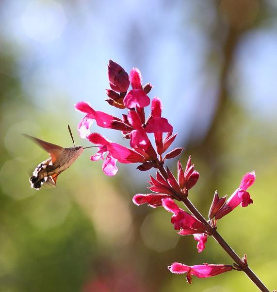 Hummingbird Moth by JohnoP
