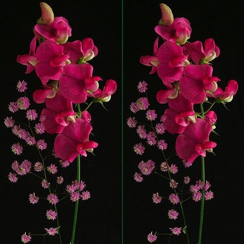 \'Sweet Pea +\' in 3D by LenLamb