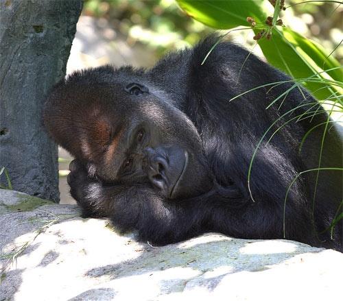 Gorilla by big fella
