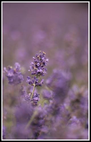 Lavender blur by jimbo_t