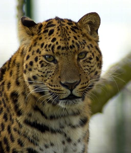 Leopard by gary900r