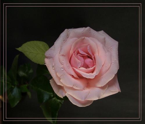Rose by claudette