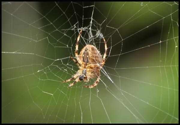 garden spider by petegaylard