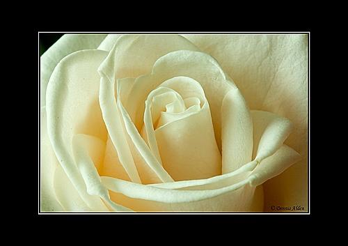Rose by Dennis.Alden