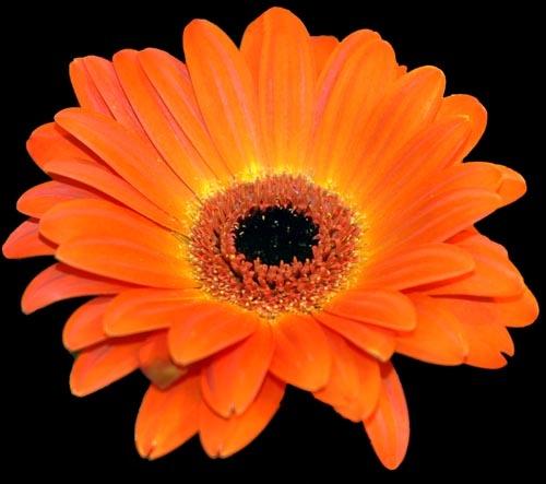 Orange Flower by patrickfarrell