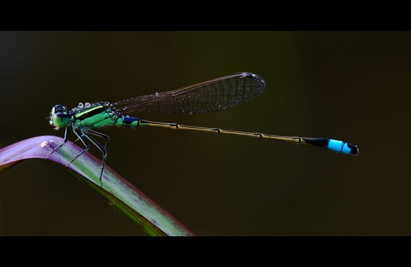 Blue-Tailed Damsel by suleesia