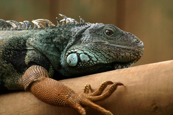 Iguana by NickCoker
