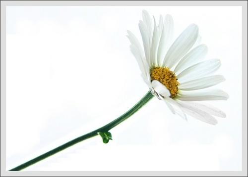 Daisy 2b by obmitty