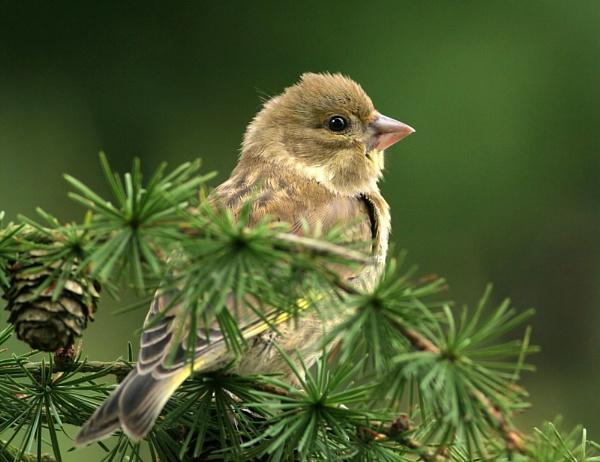 Greenfinch by John_Wannop
