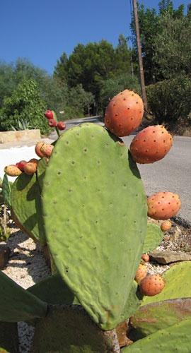 Cactus fruit by heromole