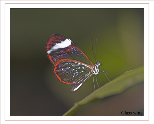 glass wing by OLDNIK