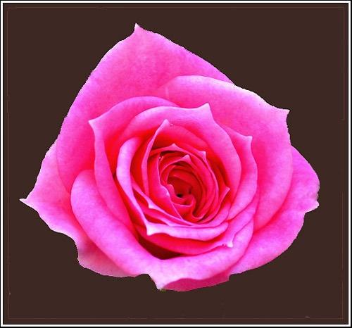 Pink Rose by Pegon