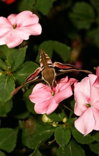 hummingbird moth by tonymarq