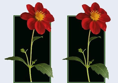 \'Red Dahlia\' ... in 3D by LenLamb