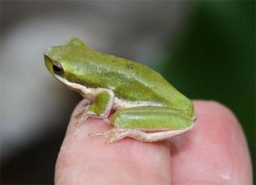 Tiny Frog by minniemanx