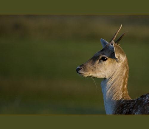 Fallow Deer by sferguk