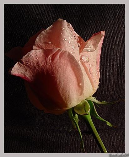 Rose by Paulinho49