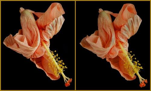 Hibiscus Tangle by LenLamb