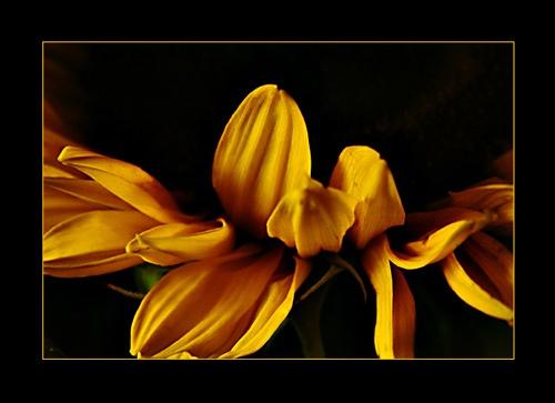 Sunflower by flossie