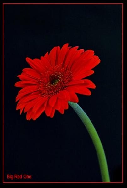 Big Red One by Kim Walton