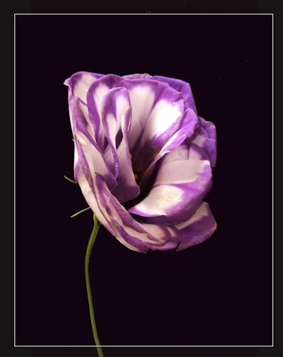 Flower by claudette