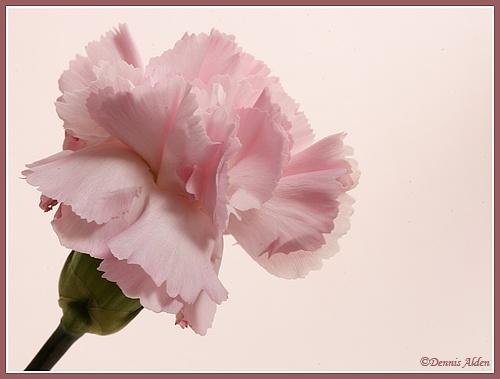 pink carnation by Dennis.Alden