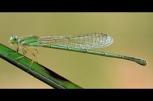 Green Damsel by Saderi