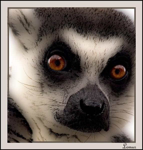 Lemur by paulcr