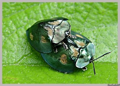 Coccinellidae by Paulinho49