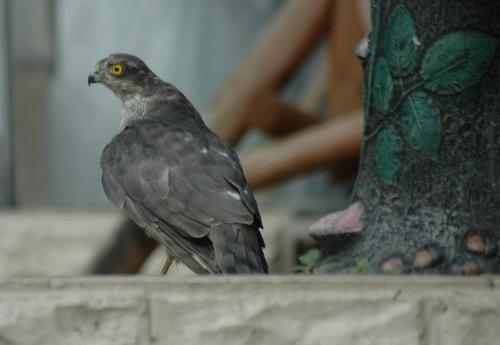 sparrowhawk by martyn_b