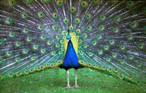 Peacock Poser by DAVID LYDIATE