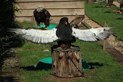Bataleur Eagle by Miles Herbert