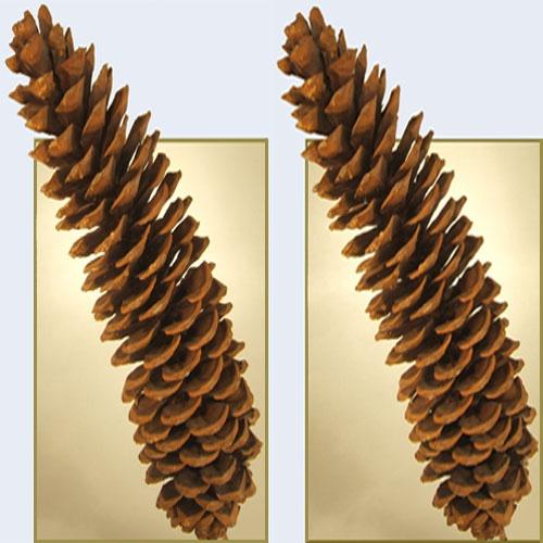 Fir Cone by LenLamb
