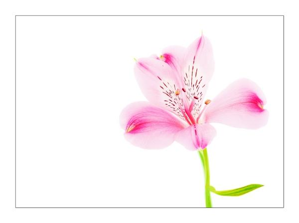 Pink Alstromeria by trahern