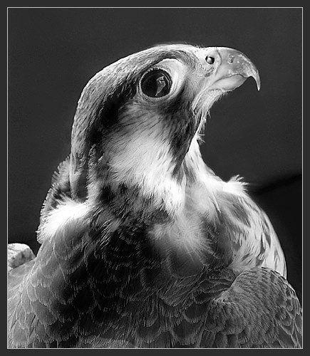 Falcon again by Bexphoto