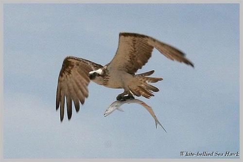 Sea Hawk by minniemanx