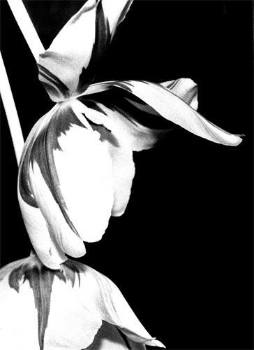 Tulipe by heidilee