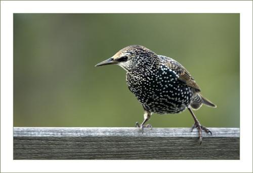 Starling by sferguk