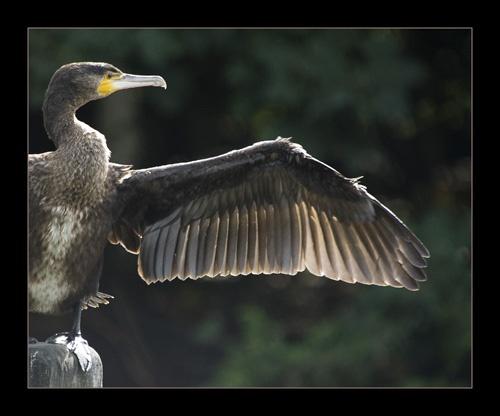 Cormorant by sferguk