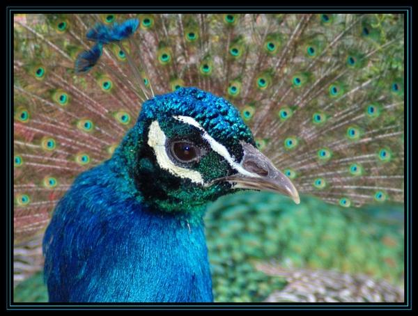 peacock blue by debbiehardy