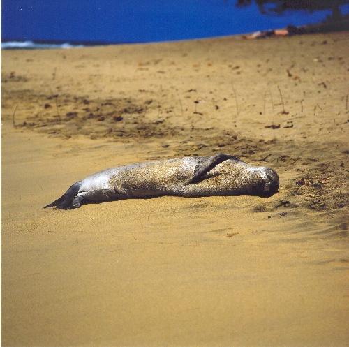 Hawaiian Monk Seal by matt5791
