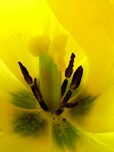 TULIP by pea
