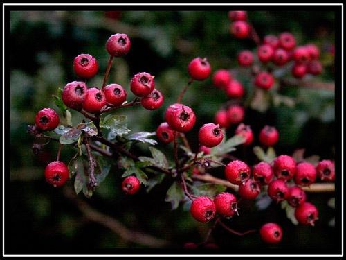 Autumn Berries by buckleyi
