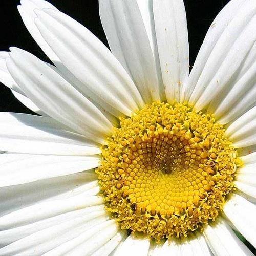 Daisy, Daisy, how does your garden grow by paulBT
