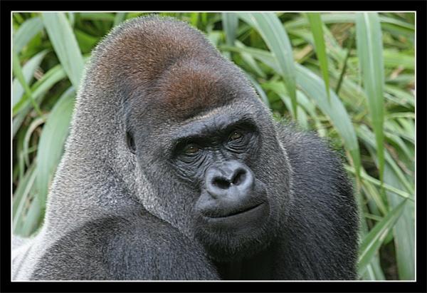 Gorilla by PaulG