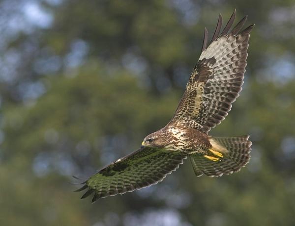 Common Buzzard by John_Wannop