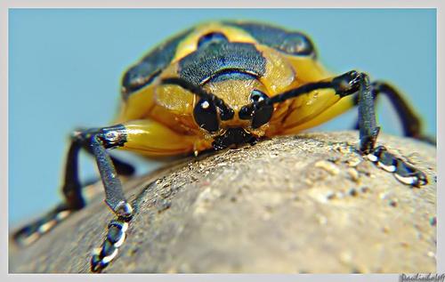 heteropteran by Paulinho49